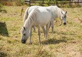 Ponis connemara pastoreo — Foto de Stock
