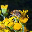 Stock Photo: Bee pollination