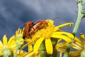 Uzun çiftleşme korna böcekler — Stok fotoğraf