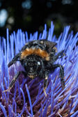 Bumble bee on purple flower — Stock Photo