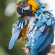 Stock Photo: Blue parrot grooming feathers