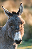 Donkey portrait — Stock Photo