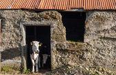 農村部の石造り小屋の子牛 — ストック写真