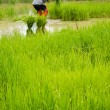 Farming rice in thailand. — Stock Photo