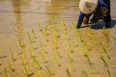 米の栽培農家. — ストック写真