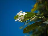 白い空とフランジパニ — ストック写真
