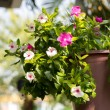 Stock Photo: Petuniflowers planted on pots hanging.