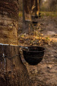 Latex rubber trees in the forest — Stock Photo