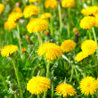 Yellow dandelion flowers, spring photo — Stock Photo