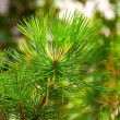 Background from conifer evergreen tree branches texture — Stock Photo #19407221