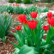 Photo: Red tulips in springtime, foreground