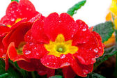 Red flowering potted primrose, isolated on white — Stock Photo