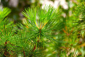 Background from conifer evergreen tree branches texture — Stock Photo