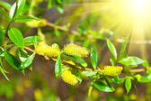Macro shot of blooming willow tree. Salix caprea. summertime — Stock Photo