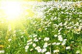 Margaritas en un prado con la luz del sol — Foto de Stock