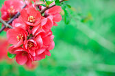 Quince flowers in full bloom, blur backgound — Stock Photo