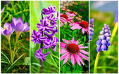 Set of cone flower, crocus, Hyacinth and Bluebells flower — Stock Photo
