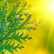 American Arborvitae, macro — Stock Photo