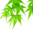 Green maple leaves, isolated on white - Stock Photo