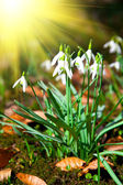 Close up of snowdrops spring. wild primrose flowers — Stock Photo