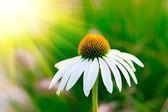 Flor de manzanilla en el jardín — Foto de Stock