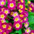 Perennial primrose or primula in the spring garden. — Stock Photo