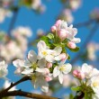 Apple bloom on blue background — Stock Photo