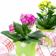 Kalanchoe Calandiva flowers in a green pot — Stock Photo