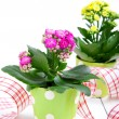 Kalanchoe Calandiva flowers in a green pot - Stock Photo