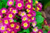 Perennial primrose or primula in the spring garden. — Stock Photo
