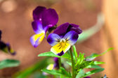 Violas and Pansies Close Up in a Garden — Stock Photo