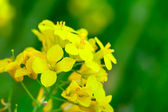 Rapeseed in the green field — Stock Photo