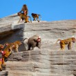 Flock ( harem ) of Hamadryas baboon on the rock - Stock Photo