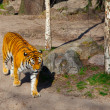 Siberian Tiger (Panthera tigris altaica) — Stock Photo #19441083