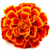 Red Marigold (Tagetes) isolated on white - Stock Photo