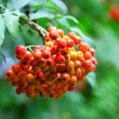 A tree with rowan berries in the fall - Stock Photo