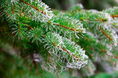 Branch of fir tree with rime — Stock Photo