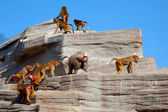 Flock ( harem ) of Hamadryas baboon on the rock — Stock Photo