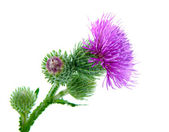 Inflorescence of Greater Burdock. on white background — Stock Photo
