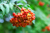 A tree with rowan berries in the fall — Stock Photo