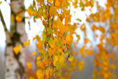Branch with the turned yellow leaves of a birch in the fall time — Stock Photo