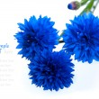 Blue Cornflower Flower  (Centaurea cyanus), isolated on White Ba - Stock Photo
