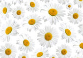 Chamomile flowers texture, on a white background — Stock Photo