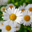 Stock Photo: Beautiful chamomile flowers close-up