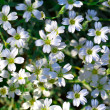 White flowers of Gypsophila repens - Stock Photo