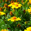 Marigold flower (Tagetes patula L.) in the flower-bed - Stock Photo
