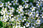 White flowers of Gypsophila repens — Stock Photo