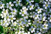 White flowers of Gypsophila repens — Stock Photo