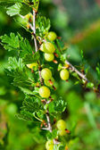 Gooseberries on a branch — Stock Photo