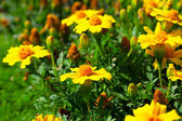 Marigold flower (Tagetes patula L.) in the flower-bed — Stock Photo